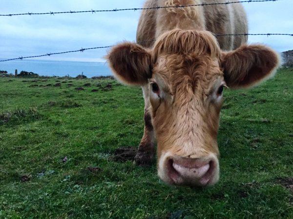 Rencontre avec une vache au Nez de Jobourg, Cotentin