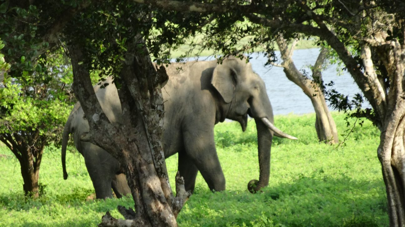 Un éléphant d'Asie au Sri Lanka