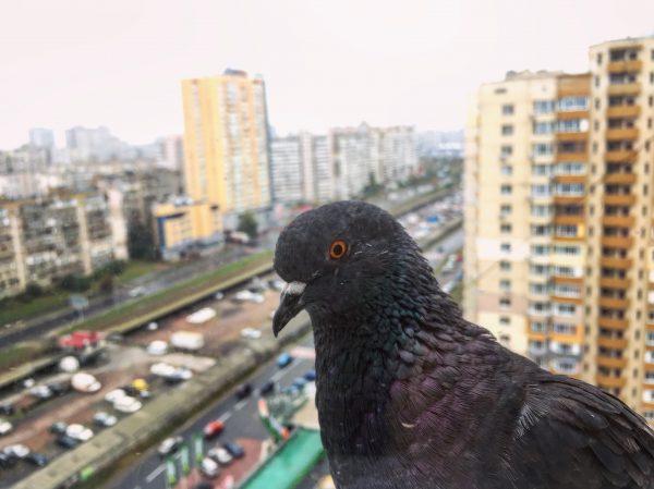 Un pigeon presque domestique sur le rebord d'une fenêtre à Kiev