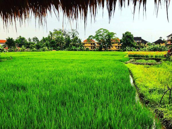 Dans les rizières d'Ubud à Bali