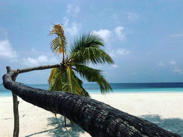 Un palmier insolite aux Maldives