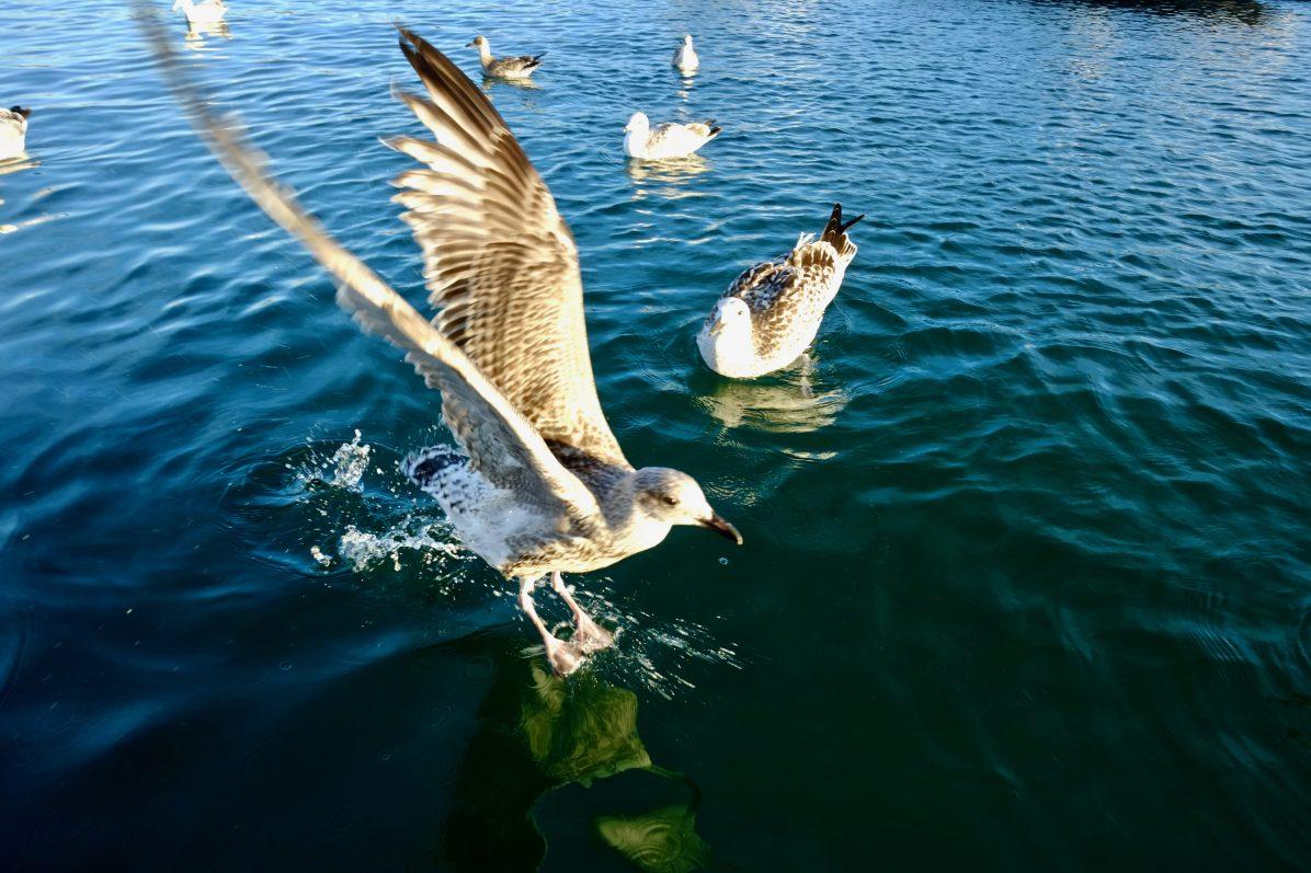 Un goéland à l'atterrissage