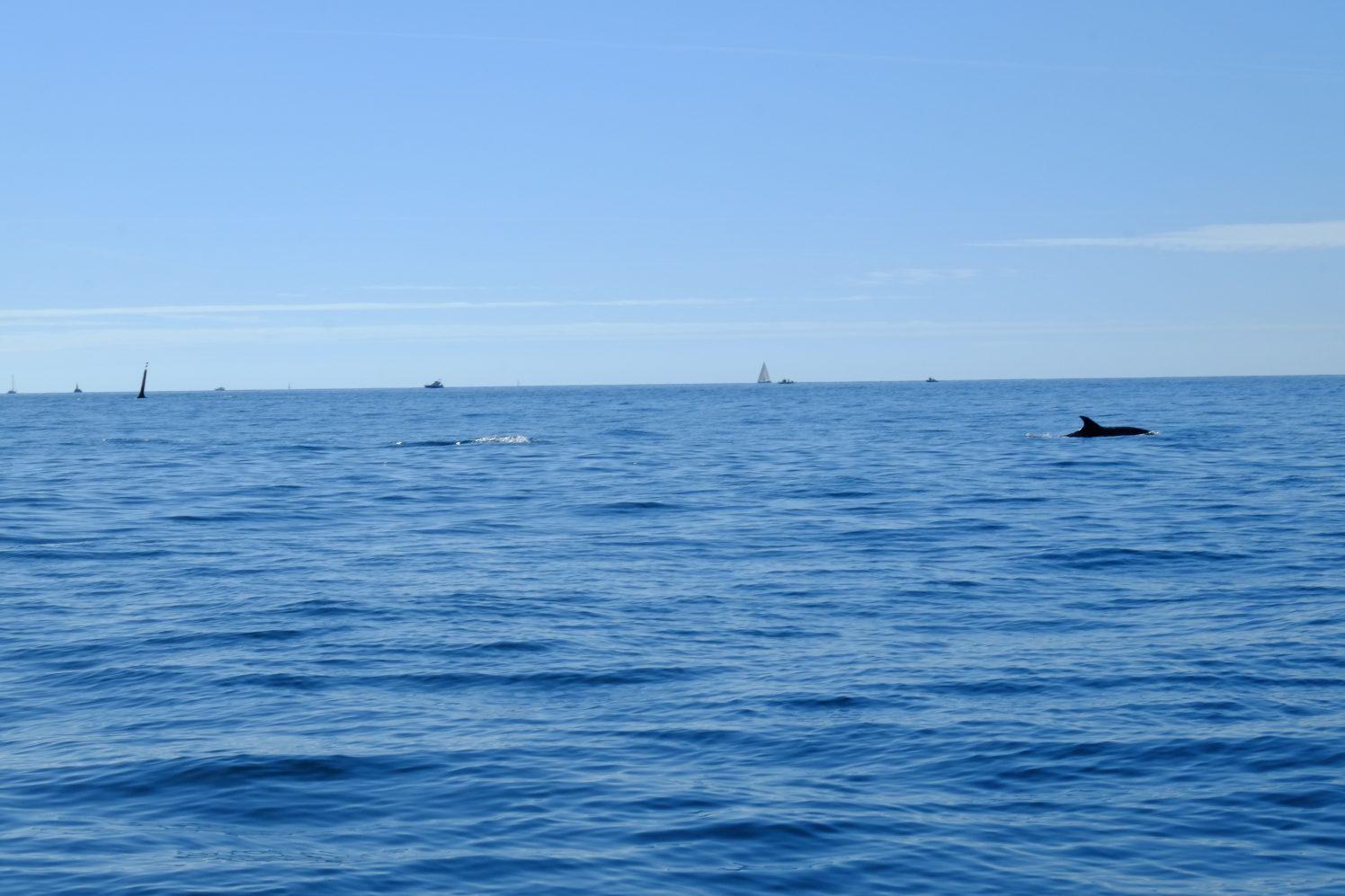 Un dauphin entre les îles du Ponant