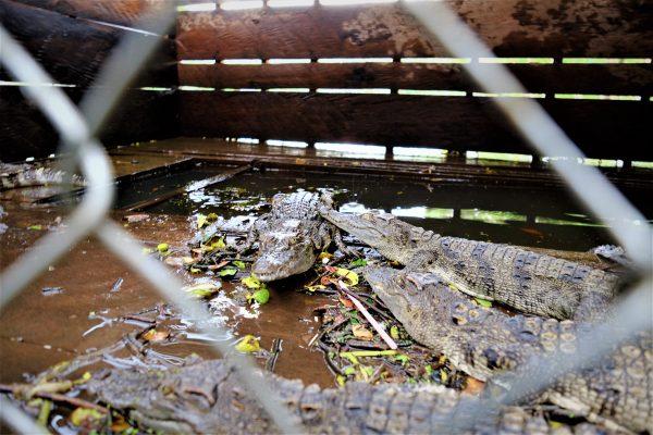 Un élevage de petits crocodiles