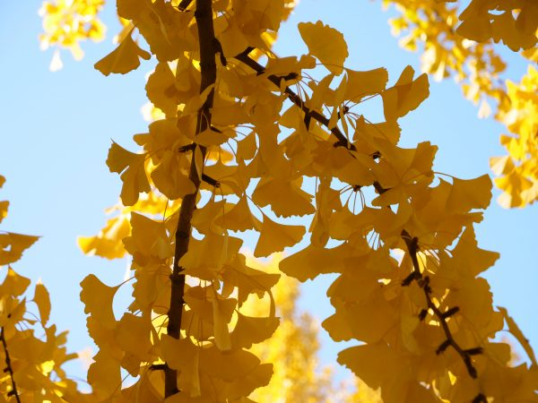 Les superbes feuilles d'un Ginkgo du parc Zhongshan