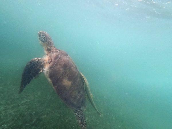 Une des tortues d'Akumal au Mexique