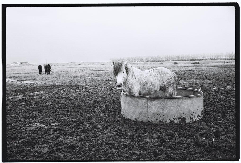 Un cheval islandais récalcitrant