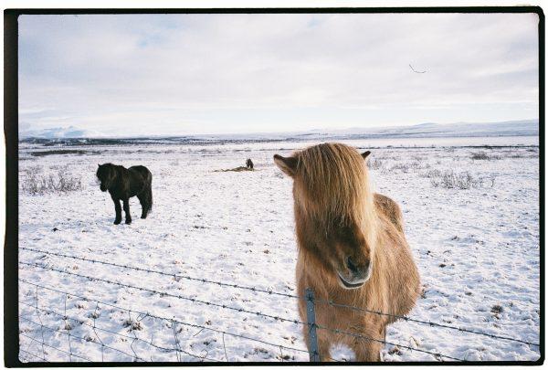 Un joli cheval dans les plaines islandaises