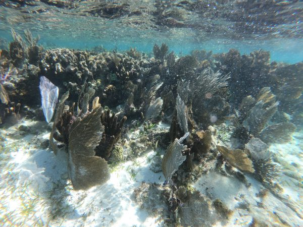 Des coraux qui rasent la surface de la mer des Caraïbes