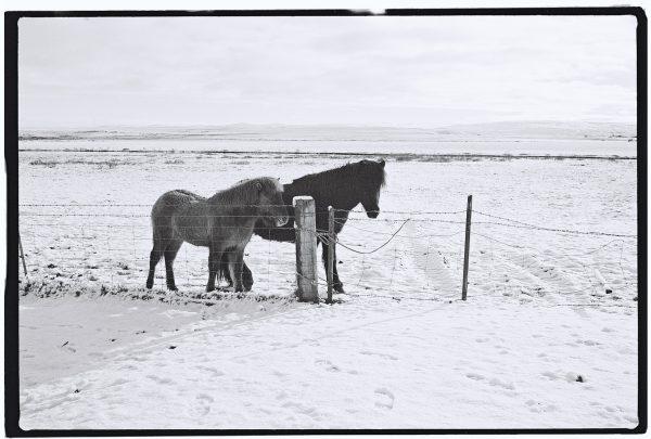Deux chevaux islandais dans sous un timide soleil islandais