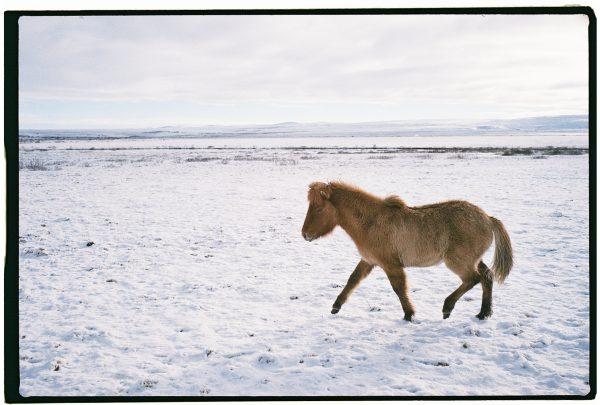 Un cheval islandais dans les plaines enneigées