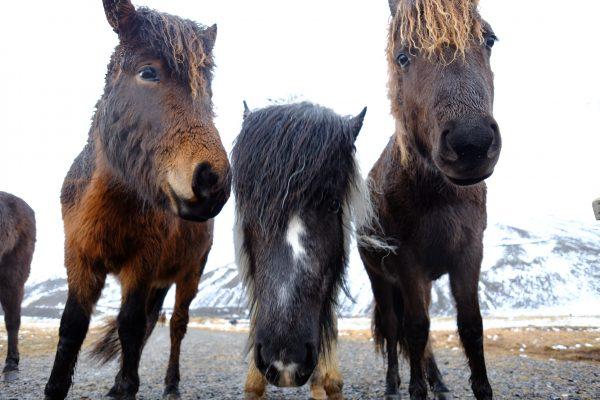 A la rencontre des valeureux chevaux islandais