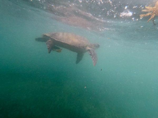Uns magnifique tortue dans la baie d'Akumal