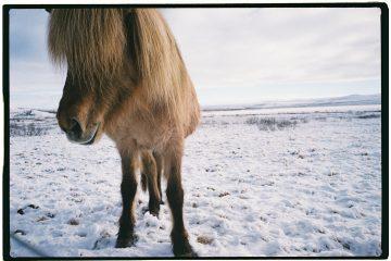 Un amour de cheval islandais