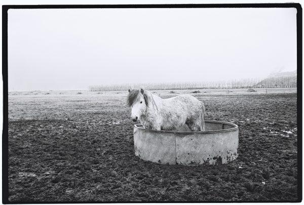 Un cheval islandais jouant la provocation