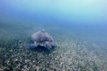 Une tortue dans le lagon d'Akumal sur la péninsule du Yucatan