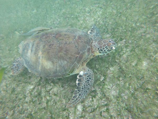 Une tortue dans la mer des  Caraïbes