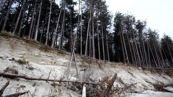 Les arbres tombent comme des allumettes