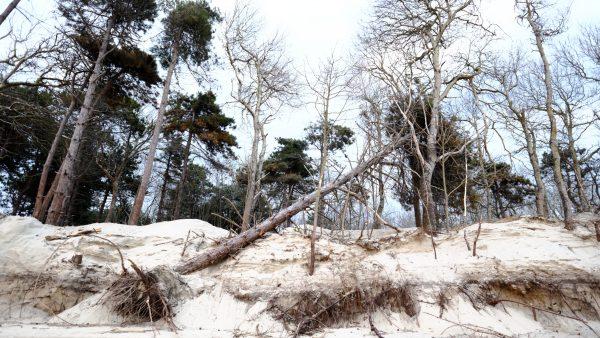 Des arbres tombent avec l'érosion de la dune