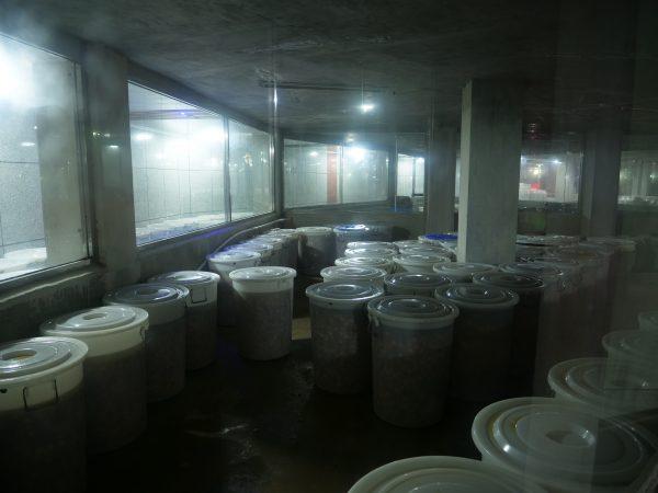 Dans les sous sols d'une fabrique traditionnelle de Kimchi de chou
