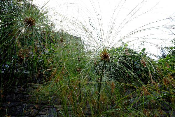 Des papyrus sous la pluie dans le département du Lot