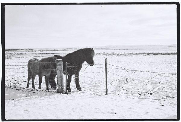 Etonnement les chevaux islandais sont des animaux très sociables