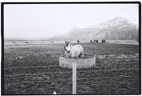 Des chevaux islandais photographiés en noir et blanc