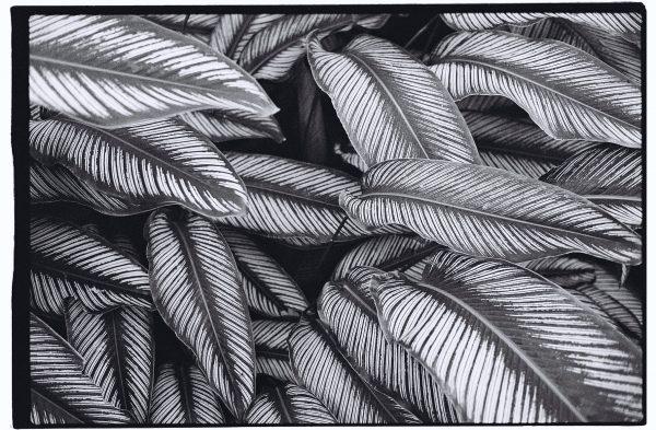 Une plante originaire des forêts humides.
