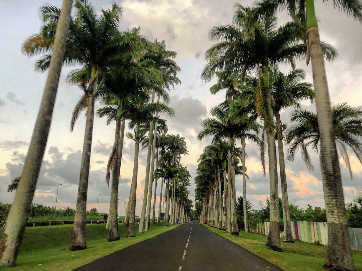 Une allée de palmier splendide en Guadeloupe