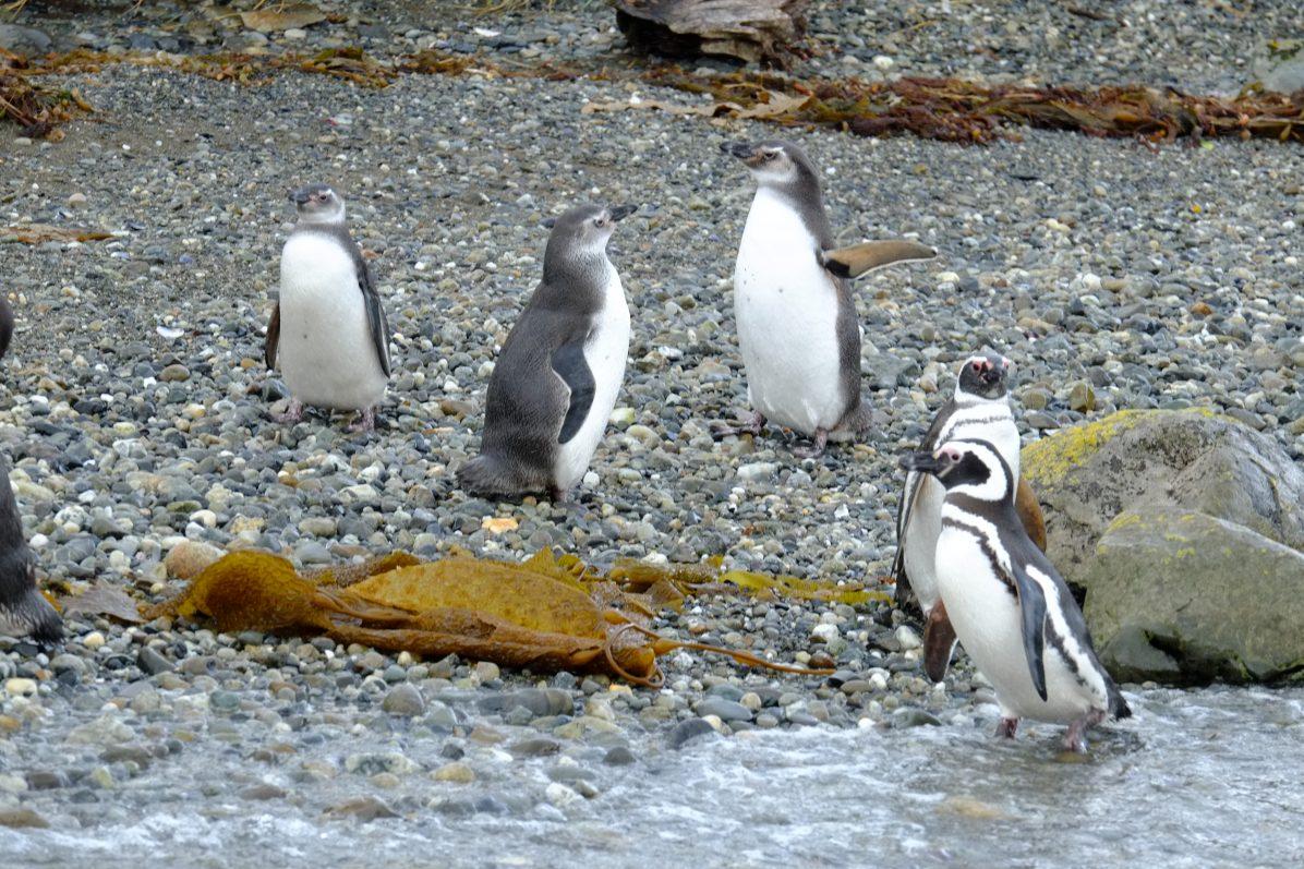 Les manchots en Patagonie