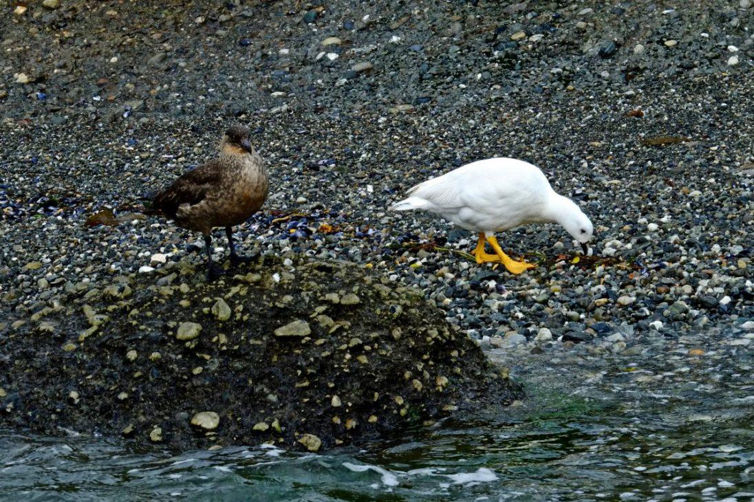 Des oiseaux en Patagonie