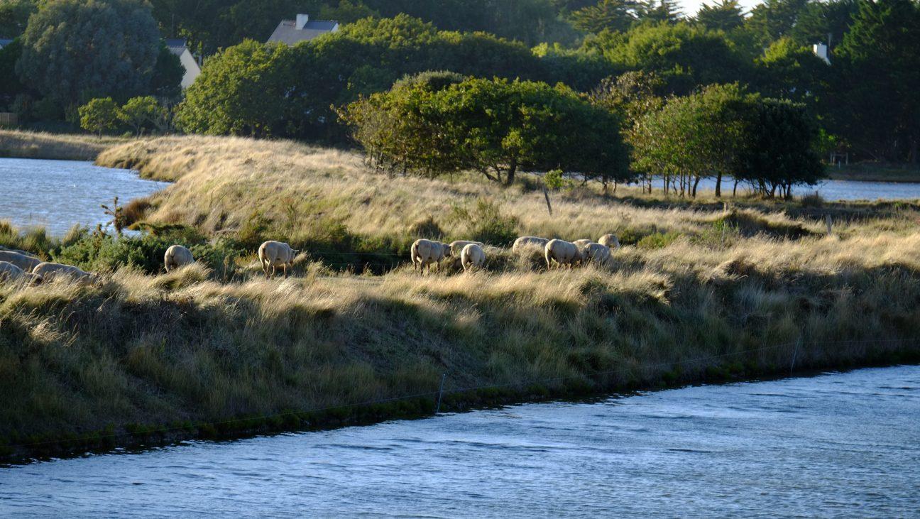 Des moutons en fin de journée