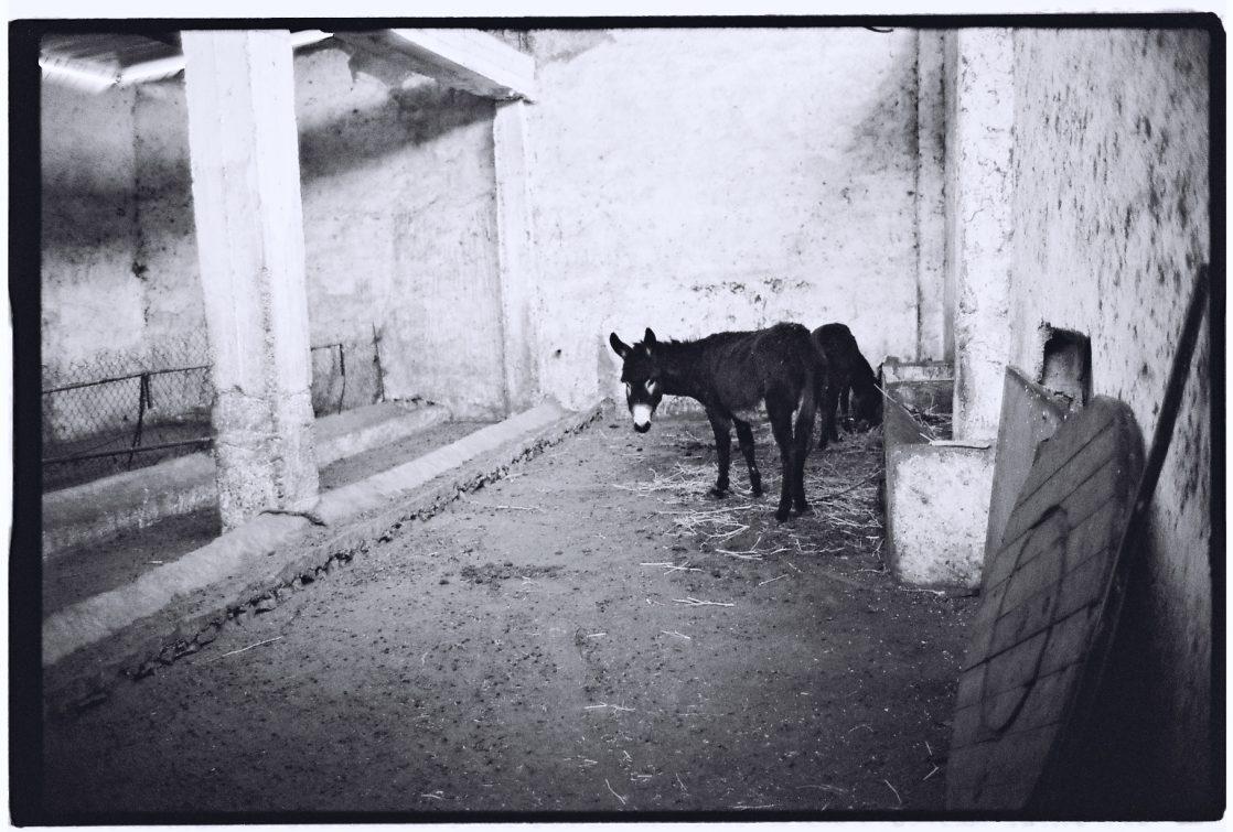 Un âne dans une grange au Maroc