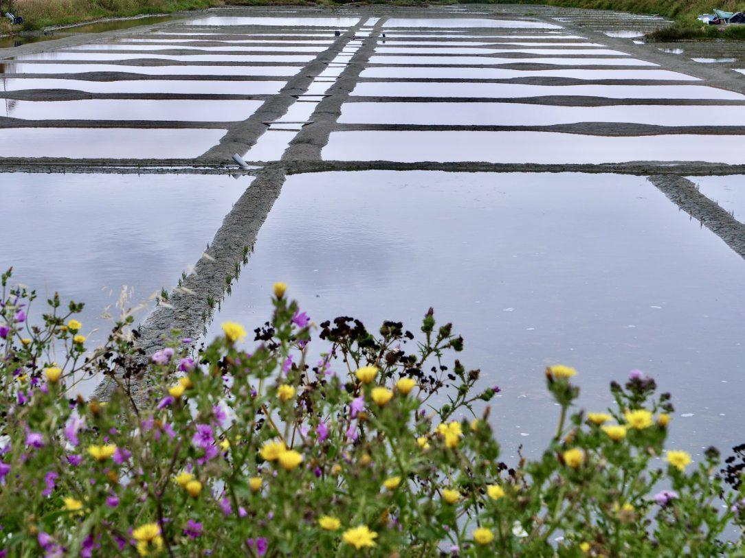Quelques fleurs au début de l'été dans les marais salants de Guérande