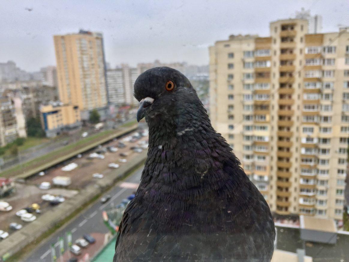 Un pigeon dans les quartiers dortoirs de Kiev