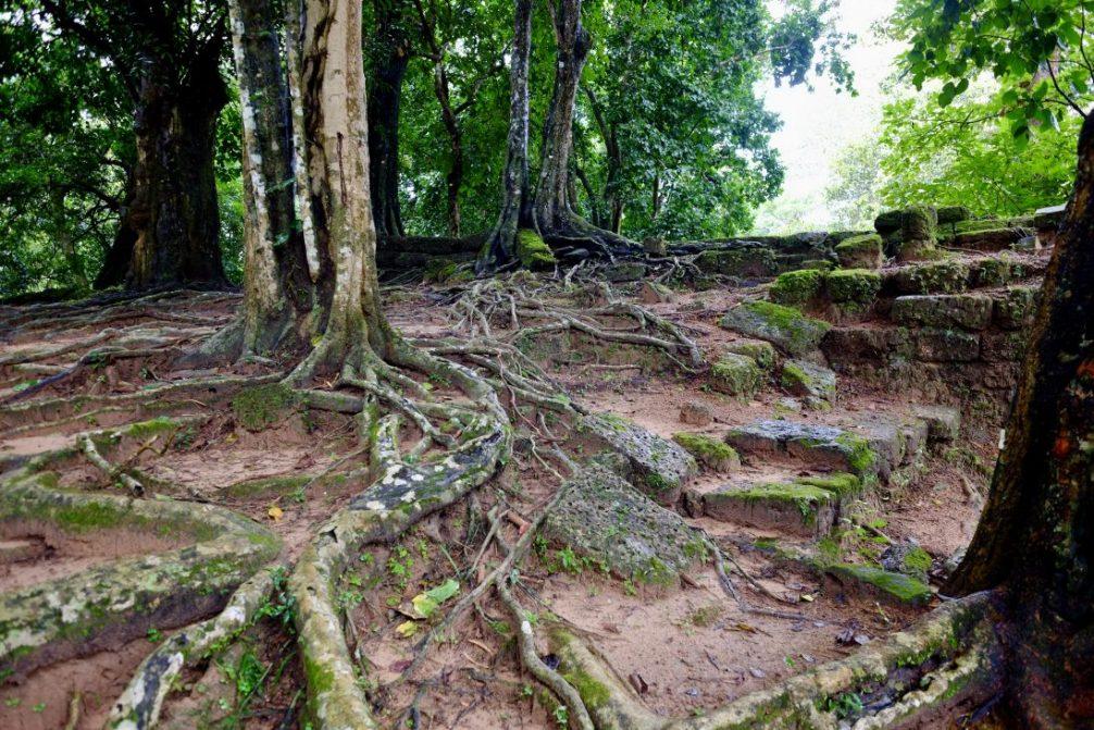 Les racines des arbres qui attaquent les temples et qui complique le repérage des serpents
